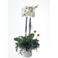 Orquídea Mily